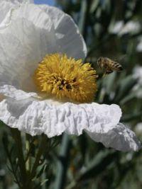 Bee on California Matilija Poppy