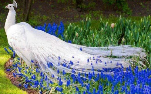 White Peacock on Blue