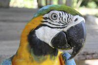 Scarlet Macaw 3-23-17