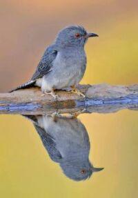 grey-bellied cuckoo in Bengaluru, India.
