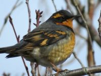 Varied Thrush (sorry I cut off his tail!)