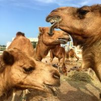 Camel pen, Doha