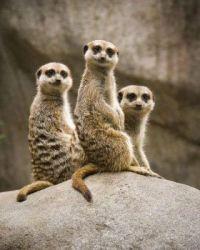2  ~  'Family portrait'  ~  Meerkat.