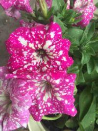 Galaxie Pink Petunia