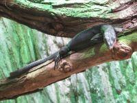 Varan anthracite, Zoo Prague