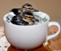 baby duck in a cup