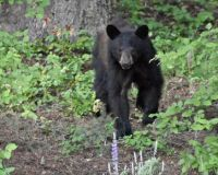 Young bear looking for walnuts