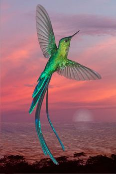 Long-tailed Sylph Hummer