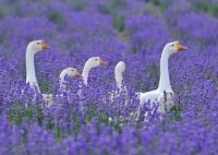 Geese Tiptoeing through the blue bonnets!