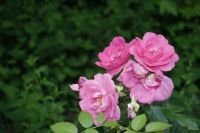 pink roses in late-afternoon