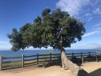Tree looking over the ocean.jpeg