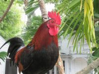 Rooster in Key West