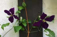 Same Clematis, Side-by-side