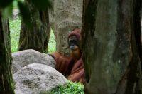 Elusive orangutan