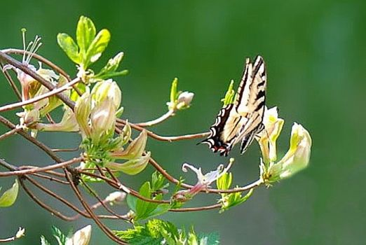 Pale Swallowtail on Western Azalea