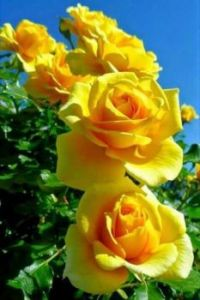 Glorious Yellow Roses.
