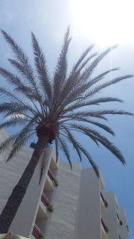 Palm tree Tenerife