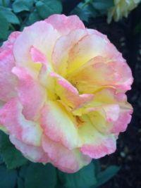 blushed--medium