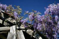 Wisteria on an old barn