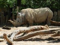 Rhino at Zoo