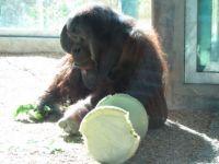 Zoo #7 -- Orangutan