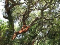 Cork oak wood, Sardinia, Italy