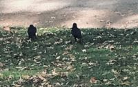 Crows on the yard