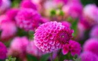 2  ~  Pink Dahlias.