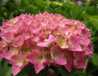 Hydrangea (close up) in my front garden.....