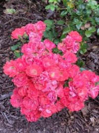 Cluster Of Roses