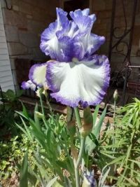Early blue and white iris