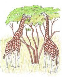 Giraffes browsing