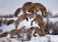 Red Fox Pounce - Time Sequence Photo by Jon Albert