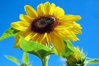 sun_flower_flower_flowers_yellow_bee_sky-594339