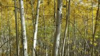Aspens in New Mexico
