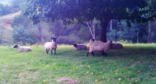 Sussex Sheep