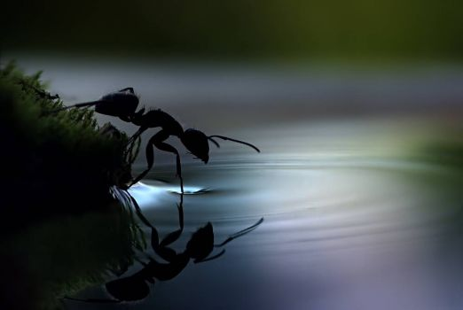 Ant about to walk on water - photog unknown