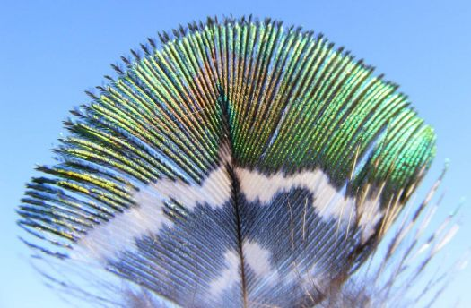 Tiny Peacock Feather