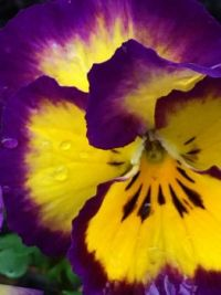 rain-jewelled pansy face
