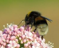 northern white-tailed bumblebee on garden heliotrope (grote aardhommel)