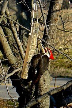 Peanuts for the Pileated! Yum!  Yum!! - #3
