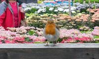Robin Singing at the local Garden Centre (2)