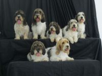 A PBGV Litter with Mom & Dad