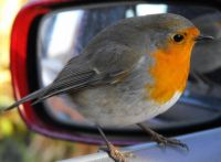 friendly little robin