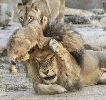 Poor Daddy lion!
