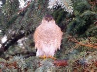 Whats for Lunch - Sharp-shinned Hawk