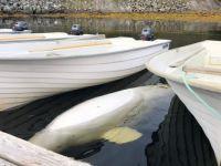 Sleeping Beluga