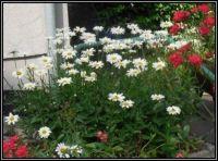 V předzahrádce...  In the front garden ...