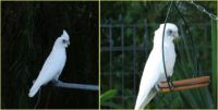 Two Little Corellas paid us a surprise visit!!!