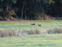 Two deers and a hare.